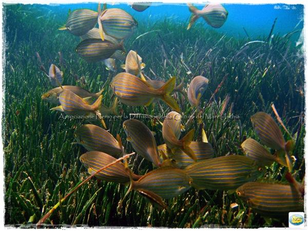 salpe snorkeling posidonia ischia