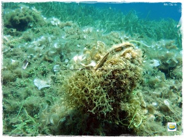 pinna noblilis snorkeling castello
