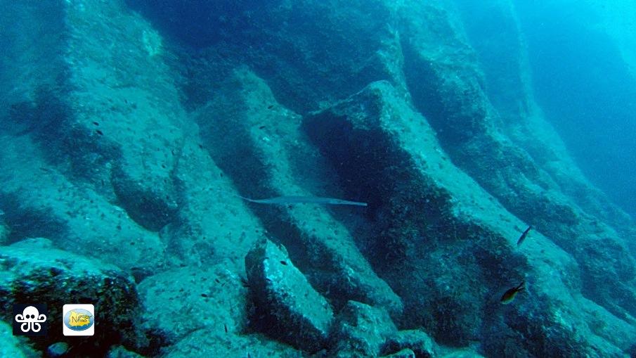 pesce flauto fistularia commersonii ischia